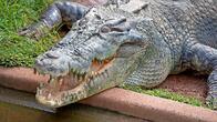 Откриха крокодил албинос