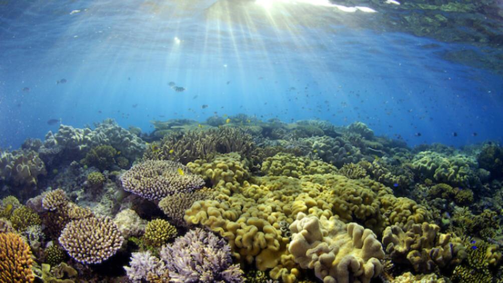 Корали, отглеждани в една част на Големия бариерен риф, бяха