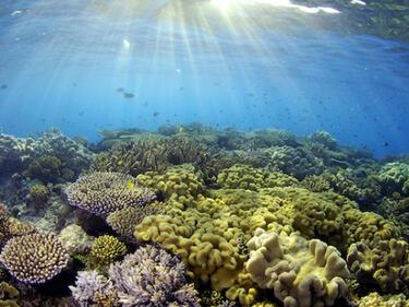 """Спасяват коралов риф с """"трансплантация"""""""