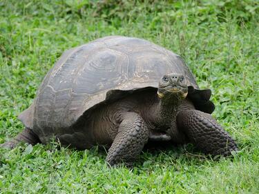 185-годишна костенурка посреща туристи на остров Света Елена