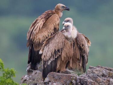 Черни лешояди свиват гнезда в Родопите