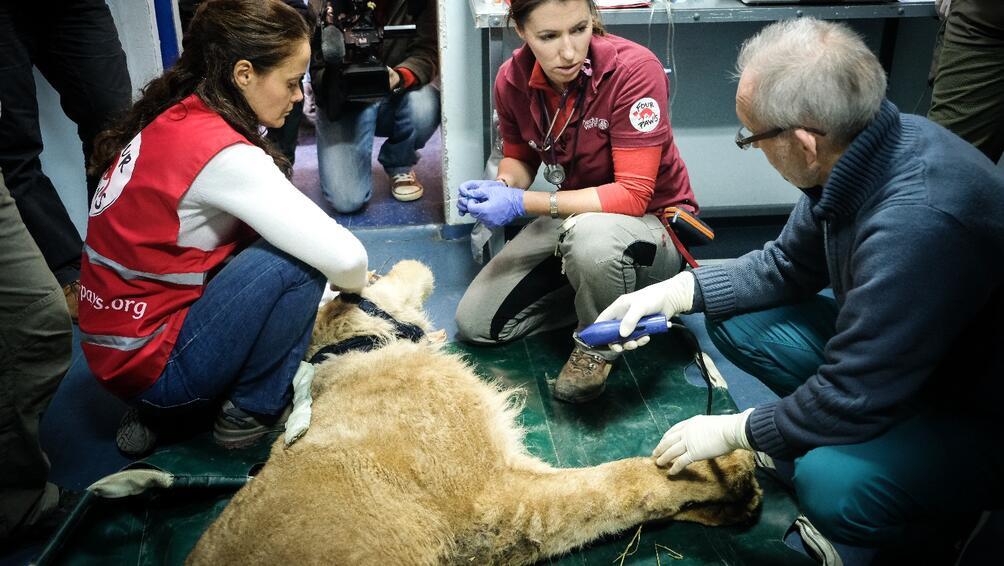 Един от лъвовете, изведени от зоопарка в Разград, постъпи за
