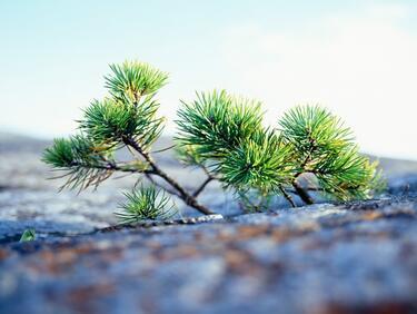 Първите почивни дни - а подходящи за засаждане на живите коледни елхи