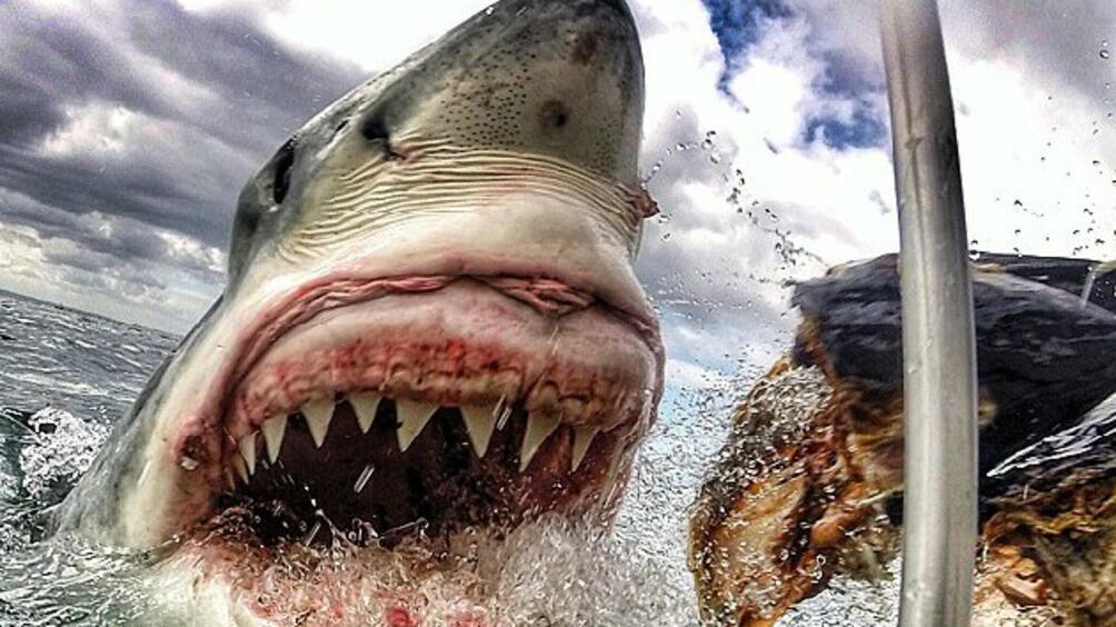 Американски учени откриха, че вид малка чукоглава акула може да