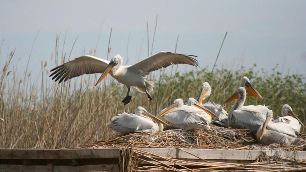 Първите пеликани вече пристигнаха в биосферен парк