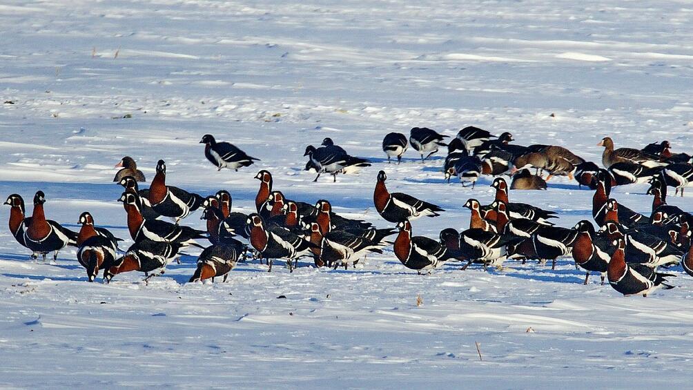 Пет пъти по-малко водолюбиви птици са наблюдавани у нас през