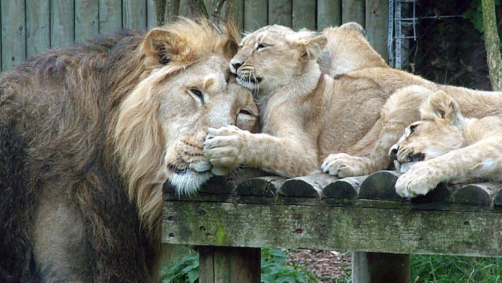 Двете лъвчета Терез и Масуд, които бяха родени в зоокъта