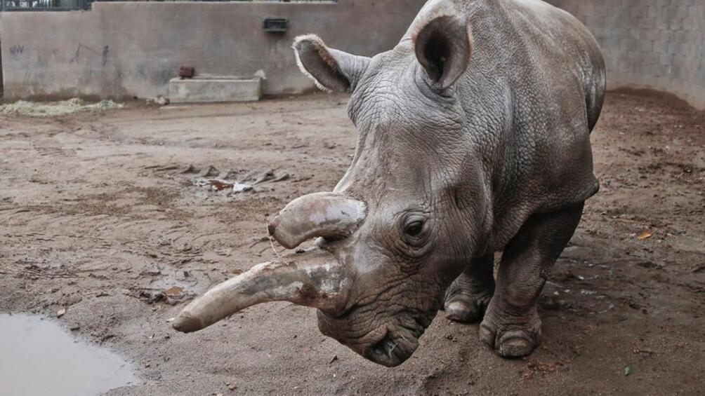 Последният мъжки северен бял носорог починана възраст 45 г., съобщиха