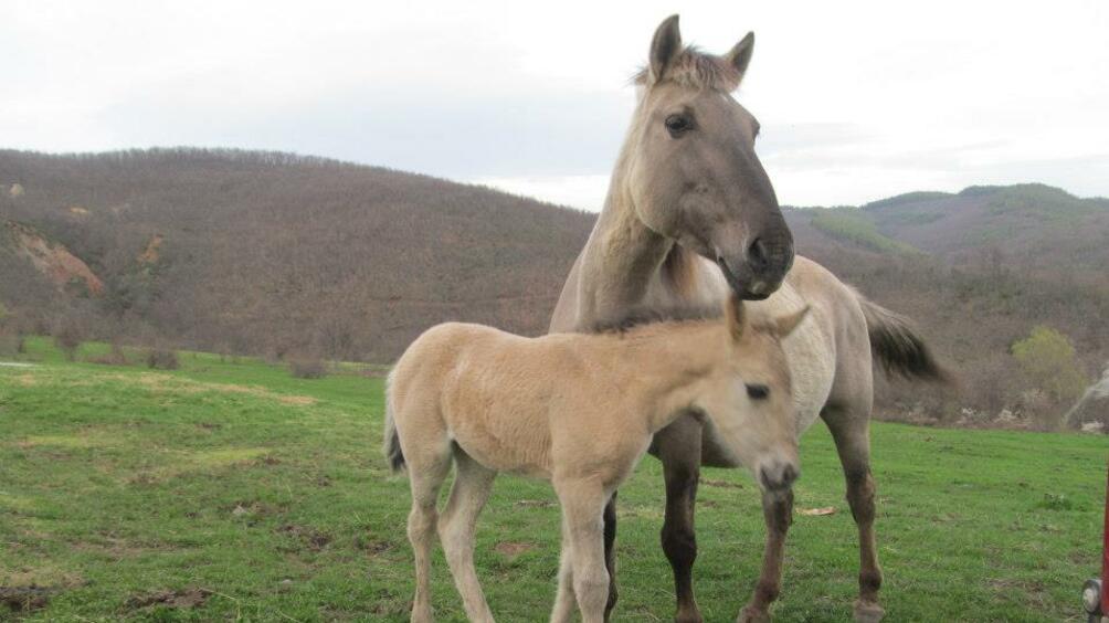 Снимка: Екип от ветеринари ще окаже помощ на бедстващите коне в Осоговската планина