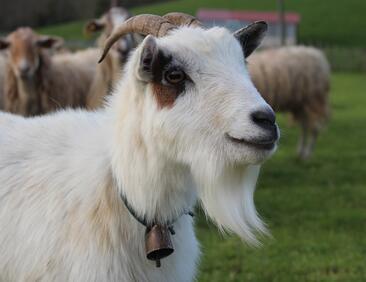 Оракулът на предстоящото световно – коза