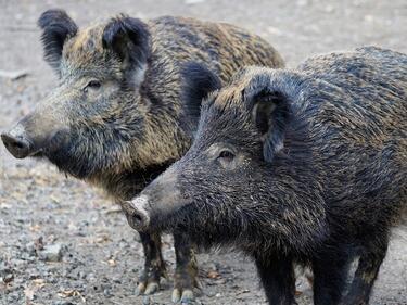 Откриха Африканска чума по свинете до българската граница