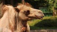 Нова камила в Столичния зоопарк