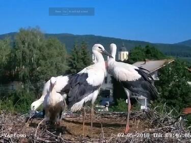 Звездните щъркелчета от село Ярлово скоро ще напуснат родното гнездо