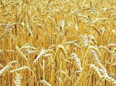 Обилните дъждове влошиха качеството на пшеницата