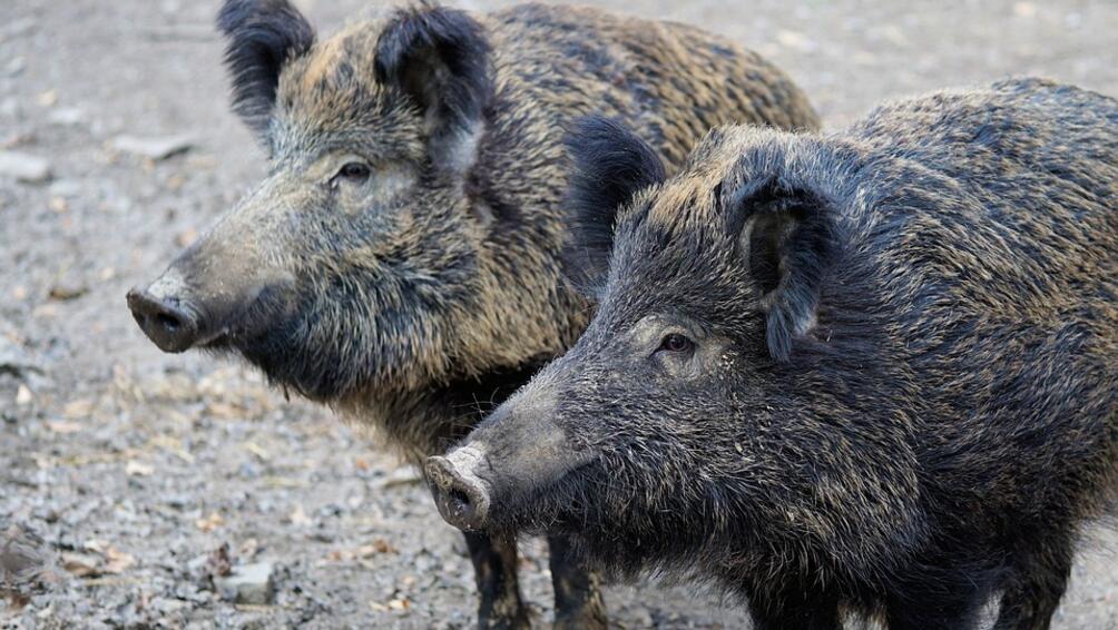 Снимка: Забранява се груповият лов на дива свиня