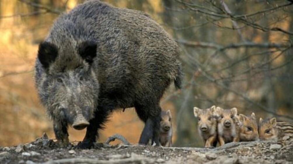 Снимка: Забраниха груповия лов на дива свиня