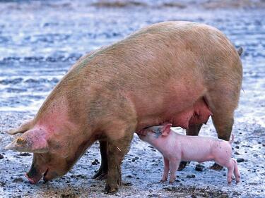Държавата предлага пари на свиневъдите, ако си заколят животните