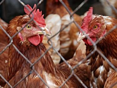 БАБХ: Отглеждането на кокошки за лични нужди няма да се криминализира