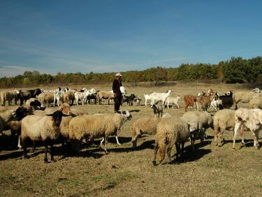 Животновъдите получиха близо 16 млн. лв. по националните плащания