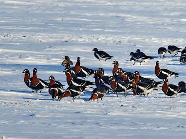 Топлата зима изгони дивите гъски