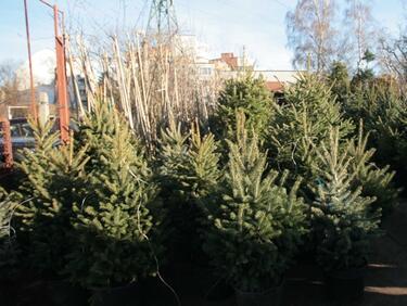 Летните жеги може да оставят Европа без елхи за Коледа