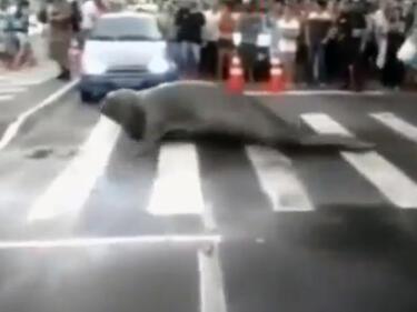 Морски слон нахлу на централна улица и я затвори